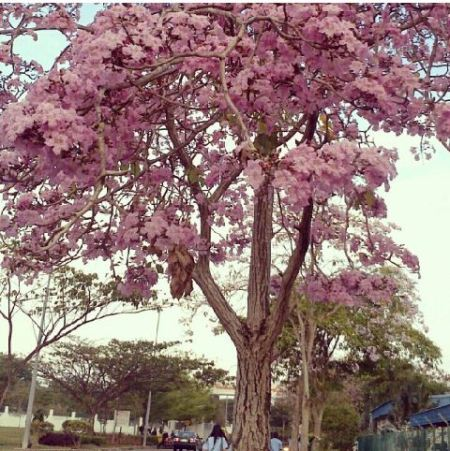 Tabebuya - Sakura Indonesia