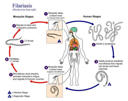 Siklus Filariasis