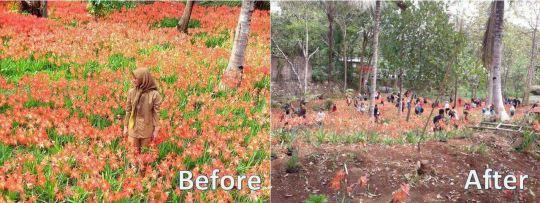 Taman Bunga Amaryllis Before dan After