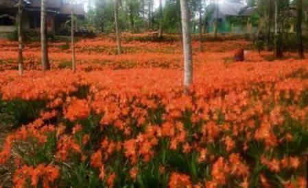 Taman Bunga Amaryllis