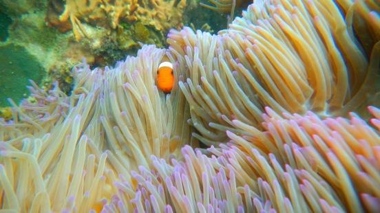 Ini Lho Nemo alias Ikan Badut